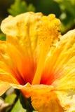 一棵黄色木槿的细节开花并且绿化叶子 库存图片
