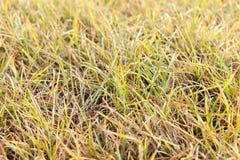 一棵黄色草的照片 图库摄影