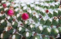 一棵仙人掌植物的抽象细节有花的 库存照片
