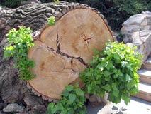 一棵击倒的树的树干 图库摄影