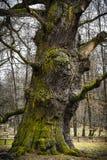 一棵1000岁橡木的树干 免版税库存照片