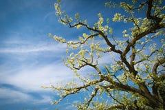 一棵兴旺的洋梨树 免版税图库摄影