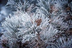 一棵冻杉树的针叶树锥体在冬天 免版税库存图片