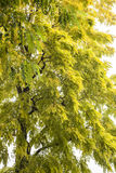 一棵黄绿树 免版税库存图片