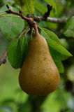 一棵洋梨树的细节有梨背景 图库摄影
