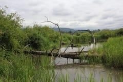 一棵死的下落的树 图库摄影