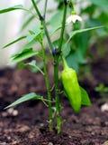 一棵年轻胡椒植物的特写镜头 库存图片