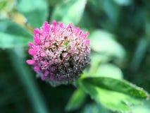 从一棵紫色三叶草的宏观射击与雾滴下 图库摄影