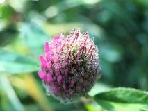从一棵紫色三叶草的宏观射击与雾滴下 免版税库存图片