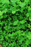 一棵绿色三叶草的纹理 库存图片
