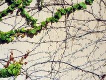 一棵年轻绿色常春藤的分支 免版税库存照片
