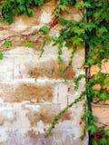 一棵年轻绿色常春藤的分支 库存照片