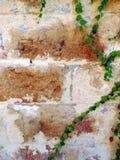 一棵年轻绿色常春藤的分支 免版税图库摄影