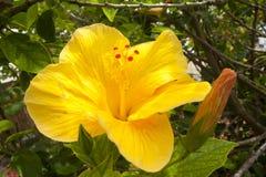 一棵黄色木槿在美丽的庭院,宏指令里开花 免版税库存照片