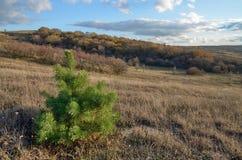 一棵绿色杉树在干燥被染黄的草背景的领域秋天  库存图片