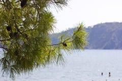 一棵绿色杉树的分支在海前面的 免版税库存照片