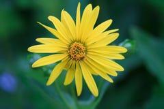 一棵黄色杯子植物的宏指令 免版税库存照片