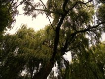 一棵绿色柳树的上部分支 免版税图库摄影