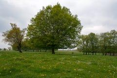 一棵绿色树在草甸 在开花草甸的灰色天空 在绿草的黄色和白花 图库摄影