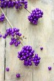 一棵紫色莓果植物的枝杈 免版税库存照片