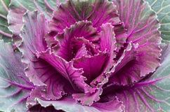 一棵紫色装饰圆白菜的特写镜头 免版税库存图片