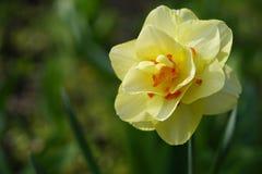 一棵黄色水仙的宏观射击在庭院里 免版税库存照片