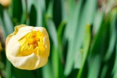 一棵黄色水仙的成长的芽开花反对绿色叶子背景  免版税库存照片