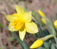 一棵黄色水仙的花 免版税库存照片