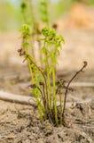 一棵绿色年轻蕨的词根 库存图片