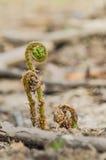 一棵绿色年轻蕨的词根 库存照片