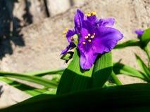 一棵紫色紫鸭跖草 免版税库存图片