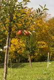 一棵年轻苹果树 库存图片
