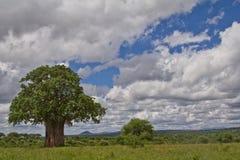 一棵猴面包树树在坦桑尼亚 免版税库存图片