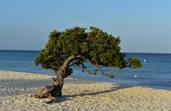 一棵Divi树的可爱的粗糙的分支在阿鲁巴 库存图片