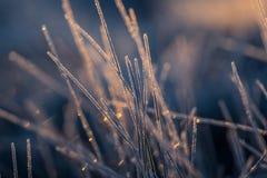 一棵frozem薹草的一个美丽的特写镜头在沼泽地 在早晨光的冰冷的草在秋天 免版税图库摄影