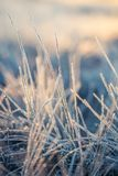 一棵frozem薹草的一个美丽的特写镜头在沼泽地 在早晨光的冰冷的草在秋天 库存照片