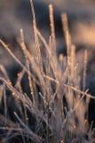 一棵frozem薹草的一个美丽的特写镜头在沼泽地 在早晨光的冰冷的草在秋天 免版税库存照片