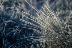 一棵frozem薹草的一个美丽的特写镜头在沼泽地 在早晨光的冰冷的草在秋天 图库摄影