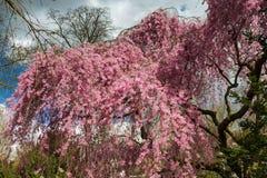 一棵Higan樱桃树的细节在充分的开花的 库存图片