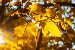 一棵Kalina树的黄色叶子在温暖的晴朗的晚上光芒的秋天点燃反对蓝天 免版税图库摄影