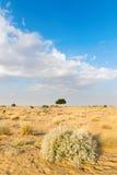 在沙漠undet蓝天的一棵rhejri树 免版税库存图片