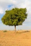 在沙漠undet蓝天的一棵rhejri树 免版税库存照片