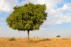 在沙漠undet蓝天的一棵rhejri树 库存图片