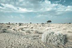 在沙漠undet蓝天的一棵rhejri树 图库摄影