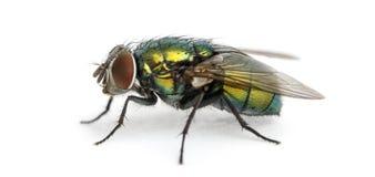 一次共同的绿色瓶飞行的侧视图, Phaenicia sericata 免版税图库摄影
