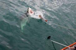 一次噬人鲨攻击 免版税库存图片