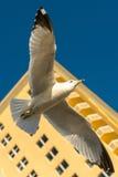 一次大海鸥飞行在背景摩天大楼 库存照片
