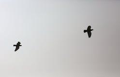 一次夫妇老鹰飞行到天空里:黑白背景 库存图片