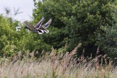 一次女性和男性野鸭鸭子飞行 免版税图库摄影