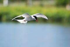 一次小的燕鸥(胸骨albifrons)飞行在Reykjav的中心 库存图片